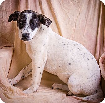 Labrador Retriever/Blue Heeler Mix Puppy for adoption in Anna, Illinois - EARTHA