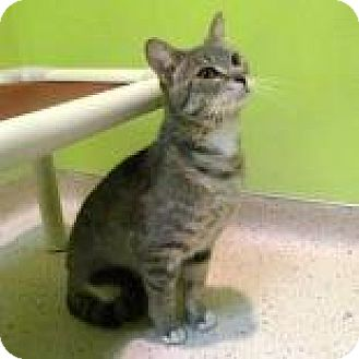 Domestic Shorthair Cat for adoption in Janesville, Wisconsin - Dimitri