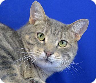 Domestic Shorthair Cat for adoption in LAFAYETTE, Louisiana - Mac Arthur