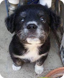 Australian Shepherd/Cockapoo Mix Puppy for adoption in Encino, California - Luke Skywalker