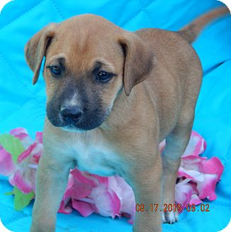 Border Collie/Shepherd (Unknown Type) Mix Puppy for adoption in Niagara Falls, New York - Kona (7 lb) Video!