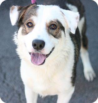 Australian Shepherd Mix Dog for adoption in Canoga Park, California - Boomer