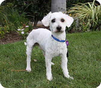Poodle (Miniature) Mix Dog for adoption in Newport Beach, California - DAMON