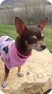Chihuahua Dog for adoption in Tomah, Wisconsin - Ladybug