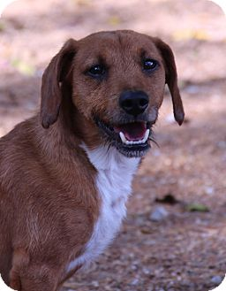 Dachshund Mix Dog for adoption in O Fallon, Illinois - Zeke