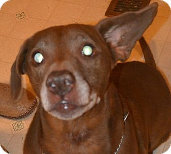Labrador Retriever Mix Dog for adoption in Afton, New York - Give Lance a Chance