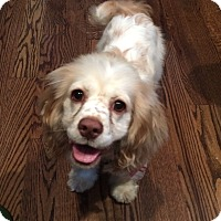 Adopt A Pet :: Chessie - Chicago, IL