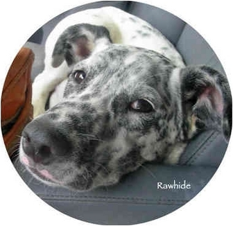 Dalmatian/Shepherd (Unknown Type) Mix Puppy for adoption in Mandeville Canyon, California - Rawhide
