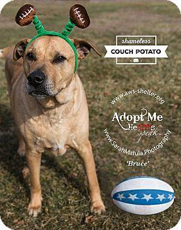 Rhodesian Ridgeback/Mastiff Mix Dog for adoption in New Milford, Connecticut - Bruce