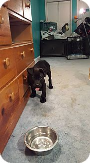 Shepherd (Unknown Type)/Pit Bull Terrier Mix Puppy for adoption in Winchester, Virginia - Zeus
