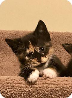 Calico Kitten for adoption in Charlotte, North Carolina - A..  Kali