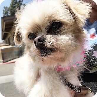 Maltese/Brussels Griffon Mix Dog for adoption in Los Angeles, California - Nurse Jane Fuzzy Wuzzy