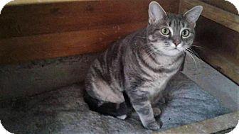 Domestic Longhair Cat for adoption in Toronto/GTA, Ontario - Titi