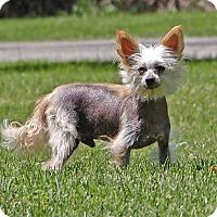 Adopt A Pet :: Muppet - Oakland, MI