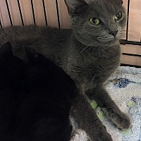 Domestic Shorthair Cat for adoption in Loogootee, Indiana - Mae