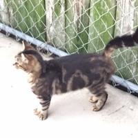 Domestic Shorthair/Domestic Shorthair Mix Cat for adoption in Crawfordville, Florida - ELSA