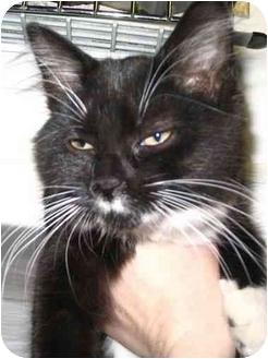 Domestic Mediumhair Kitten for adoption in West Warwick, Rhode Island - Skittles