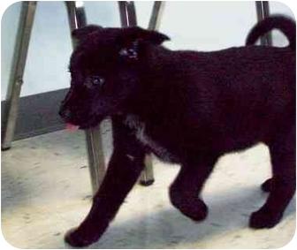 German Shepherd Dog/Chow Chow Mix Puppy for adoption in HARRISONVILLE, Missouri - JUNE