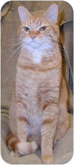 Domestic Shorthair Cat for adoption in San Diego, California - Morris
