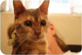 Ocicat Kitten for adoption in tucson, Arizona - Lyle
