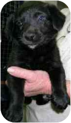 Labrador Retriever Mix Puppy for adoption in Elwood, Illinois - Annie