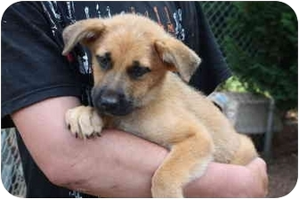 Shepherd (Unknown Type) Mix Puppy for adoption in Prince William County, Virginia - Kannon