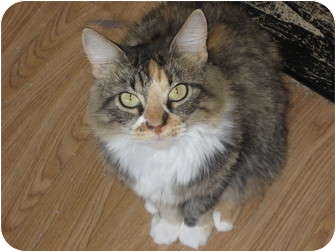 Maine Coon Cat for adoption in Huffman, Texas - Lisabeth