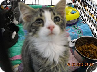 Domestic Shorthair Kitten for adoption in Riverside, Rhode Island - Jacob