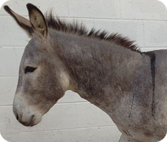 Donkey/Mule/Burro/Hinny Mix for adoption in Sac, California - Cisco