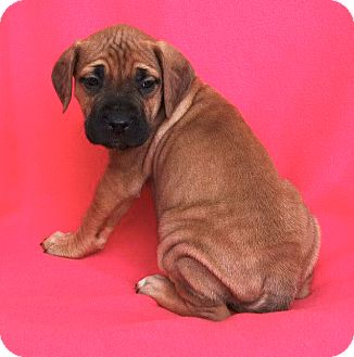 Mastiff/Labrador Retriever Mix Puppy for adoption in Westport, Connecticut - *Cassidy - PENDING