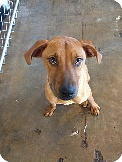 Black Mouth Cur/Labrador Retriever Mix Dog for adoption in Dallas, Texas - Ginger - Guest