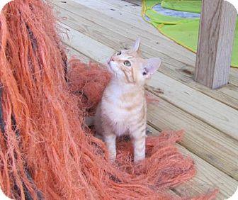 Domestic Shorthair Kitten for adoption in Port St. Joe, Florida - Tidbit
