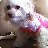 Adopt A Pet :: Gracie - Osseo, MN