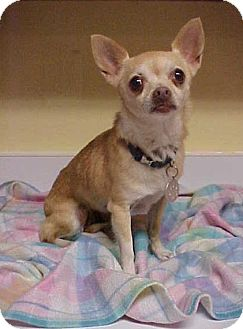 Chihuahua Dog for adoption in Dahlgren, Virginia - Daisy - 6 lbs