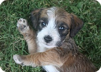 Petit Basset Griffon Vendeen/Spaniel (Unknown Type) Mix Puppy for adoption in Henderson, Nevada - Bambi's Puppies!