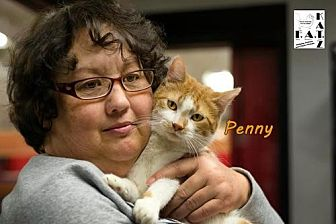 Domestic Shorthair Cat for adoption in Albuquerque, New Mexico - Penny
