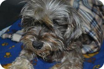 Schnauzer (Standard) Mix Dog for adoption in Edwardsville, Illinois - Harriet