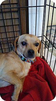 Dachshund Mix Dog for adoption in TAHOKA, Texas - BIG BOY