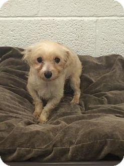 Maltese Mix Dog for adoption in Miami, Florida - Dachise