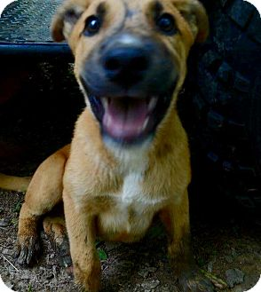 Catahoula Leopard Dog/Black Mouth Cur Mix Puppy for adoption in Goodlettsville, Tennessee - Grey