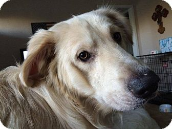 Great Pyrenees Mix Dog for adoption in Croydon, New Hampshire - Jackson - Adopted!