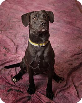 Pit Bull Terrier/Catahoula Leopard Dog Mix Dog for adoption in Harrisonburg, Virginia - Magic