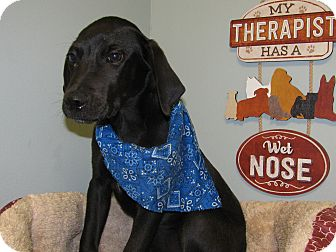 Labrador Retriever Mix Puppy for adoption in South Dennis, Massachusetts - Peter