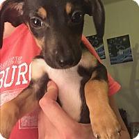 Adopt A Pet :: Dash - Flower Mound, TX