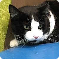 Domestic Shorthair Cat for adoption in Woodhaven, Michigan - Rachel