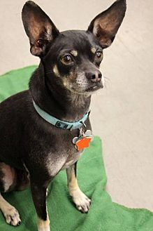 Chihuahua Mix Dog for adoption in Phoenix, Arizona - Chuy