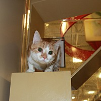 Adopt A Pet :: Sassoon - Rochester, MN