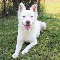 Adopt A Pet :: Coho - McCall, ID