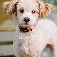 Adopt A Pet :: Ramon - Portland, OR