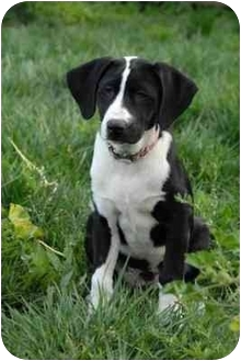 Labrador Retriever/Hound (Unknown Type) Mix Puppy for adoption in Los Angeles, California - CASSIDY